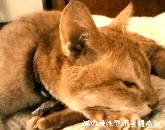猫の慢性腎不全闘病記 脱水症状