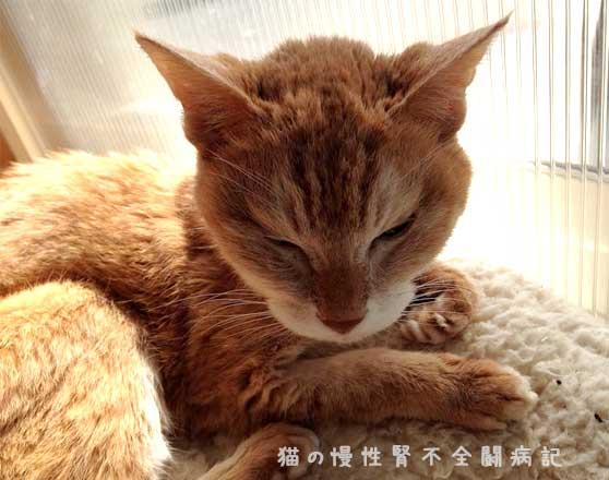老猫 慢性腎不全闘病中