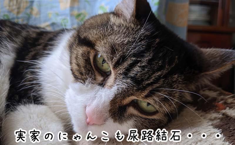 尿路結石になっちゃった実家の猫